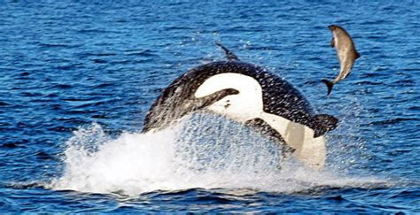 whale watching Victoria and Sooke Vancouver Island west