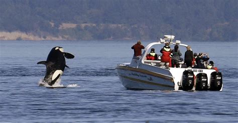 Puget Sound orcas getting a break from boaters — at no